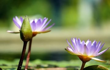 water-lily-1490078_640